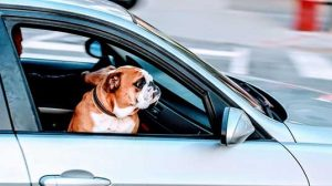 unrestrained dog in car looking out window